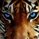 Тигр Очень Ласковый.