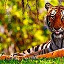***тигрица***