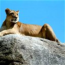 Proud Lioness Time