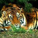 Тигр ..